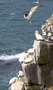 Gannets northern in saint mary reserve newfoundland canada Royalty Free Stock Images