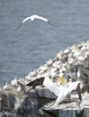 Gannets northern in saint mary reserve newfoundland canada Royalty Free Stock Photography