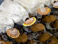Ganoderma lucidum in the mushroom farm Royalty Free Stock Image