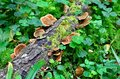 Ganoderma lucidum parasitic fungus over the trunk in the forest Stock Image