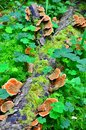 Ganoderma lucidum parasitic fungus over the trunk in the forest Stock Photo