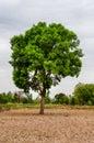 Gant Tree In Storm