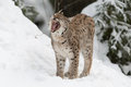 Gaping eurasian lynx winter Stock Image