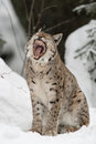Gaping eurasian lynx winter Royalty Free Stock Images
