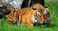 Gaping mouth tiger tigress zoo Stock Photography