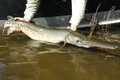 Gar fishing released longnose Fotografia de Stock