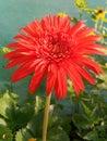 Garbera flower beauty of love Royalty Free Stock Photo
