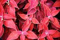 Garden abstract dense red foliage Stock Photo