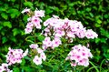 Garden autumn flowers phlox Royalty Free Stock Photo