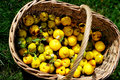 Garden basket filled up with Japan quince Stock Photos