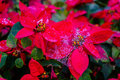 Garden with beautiful red Christmas poinsettia flower and a dew Royalty Free Stock Photo