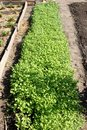 A garden bed with mustard in a dacha garden Royalty Free Stock Photography