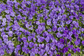 Garden bed with violet flowers Royalty Free Stock Images
