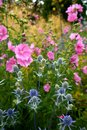 Garden: blue sea holly and pink hollyhock flowers Royalty Free Stock Photo