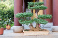 Garden of bonsai temple in the back Stock Photos