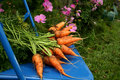 Garden carrots Royalty Free Stock Photos