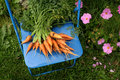 Garden carrots Stock Images