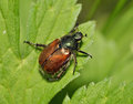 Garden Chafer Beetle Royalty Free Stock Photo