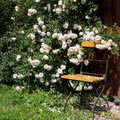 Garden chair with rambler roses Royalty Free Stock Photo