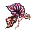 Garden coleus plant illustration.