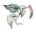 Garden coleus plant illustration