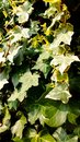 Garden creeper detail Royalty Free Stock Photo