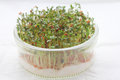 Garden cress green fresh sprouts Stock Images