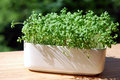 Garden cress growing in white pot on a balcony shelf Stock Image