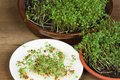 Garden cress, homemade cultivation Royalty Free Stock Image