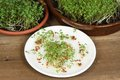 Garden cress, homemade cultivation Stock Photography
