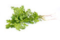 Garden cress plant is isolated on a white background Royalty Free Stock Photography