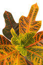 Garden croton.  Excellent Royalty Free Stock Photography