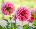 Garden Dahlia flower Royalty Free Stock Image