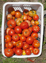 Garden Detail of Basket of Beefsteak Tomatoes Stock Photos