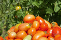 Garden Detail of Plum Tomatoes Royalty Free Stock Images