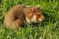 Garden dormouse the eliomys quercinus is an european omnivorous rodent Royalty Free Stock Photos