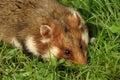 Garden dormouse the eliomys quercinus is an european omnivorous rodent Royalty Free Stock Image
