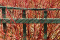 Garden fence and red-twig dogwood Royalty Free Stock Photo