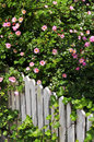 Garden fence with roses Royalty Free Stock Images