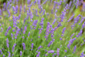 Garden with the flourishing lavender Royalty Free Stock Photography