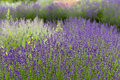 Garden with the flourishing lavender in france Royalty Free Stock Photo