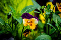 Garden flower - Pansy yellow, purple Royalty Free Stock Photo