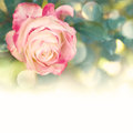 Garden flower rose on the bokeh background Stock Photo