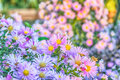 Garden flowers Royalty Free Stock Photo