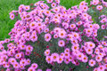 Garden flowerses Royalty Free Stock Photo