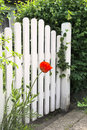 Garden gate and poppy white red Stock Image