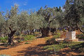 Garden of gethsemane in israel olive trees within the which means oil press Stock Photos
