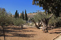 Garden of gethsemane in israel olive trees within the which means oil press Royalty Free Stock Photos
