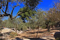 Garden of gethsemane in israel olive trees within the which means oil press Stock Images