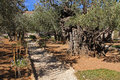 Garden of gethsemane in israel olive trees within the which means oil press Royalty Free Stock Image